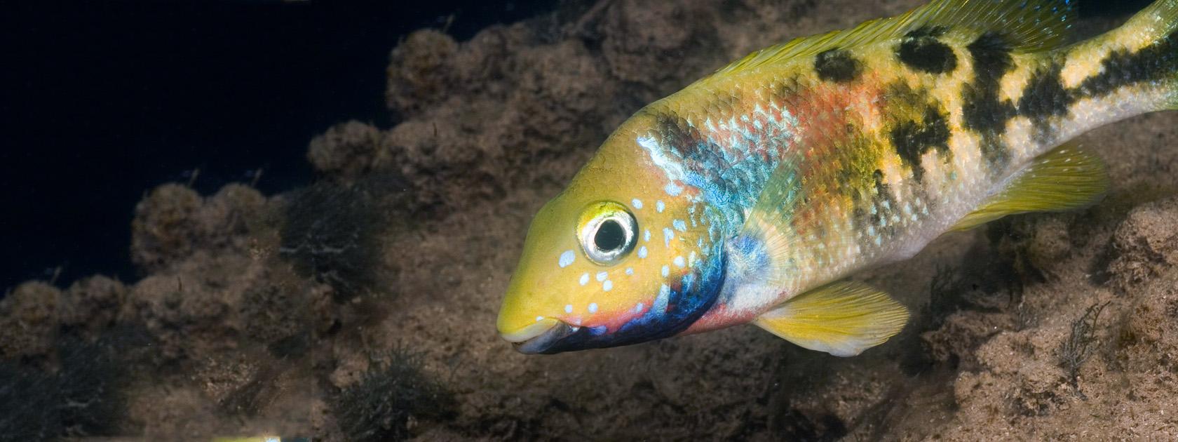 Cichlid conservation efforts