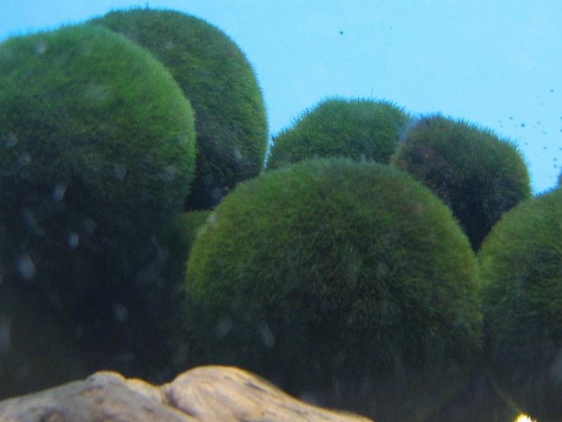 Morimo Moss Balls